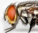 BG1485 D1575 - Atacta brasiliensis