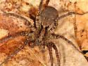 Wolf Spider - Gladicosa gulosa - female