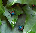 Florida Predatory Stink Bug Nymphs - Euthyrhynchus floridanus