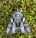 Dejected Underwing, a large black and white moth - Catocala dejecta
