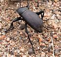 Santa Fe Beetle  - Eleodes obscura