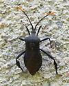 Unknown bug - Acanthocephala terminalis