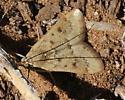 gray-eyed moth, tan, spots - Achyra rantalis
