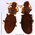 Latridiidae (2 adults) - Metophthalmus