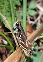 Chiricahua Short-winged Grasshopper - Melanoplus chiricahuae - male