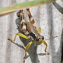 Grasshopper - Melanoplus viridipes-species-group - male