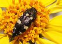- - Acmaeodera vernalis