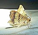 unknown AR moth #10 - Macaria