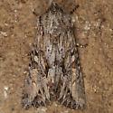 Moth - Apamea cinefacta