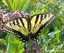 Canadian Tiger Swallowtail? - Papilio canadensis - female