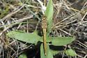Saffron-winged Meadowhawk - Sympetrum costiferum