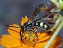 Campsomeris - Xanthocampsomeris limosa - male