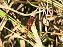 Autumn Meadowhawk - Sympetrum vicinum - male