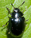 Imported Willow Leaf Beetle - Plagiodera versicolora