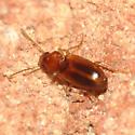 Tiny reddish beetle - Bradycellus rupestris