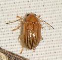 beetle062117 - Colaspis