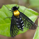 fly0515 - Chrysopilus thoracicus