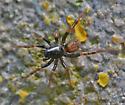 Antmimic spider? - Allocosa - male