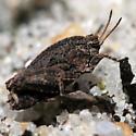 Western Crested Grouse Locust - Nomotettix cristatus - female
