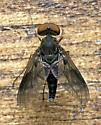 Fly - Chrysopilus quadratus - male