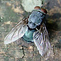 Blow Fly ? - Calliphora