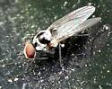 fly - Anthomyia