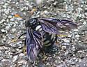 Swab-antennaed hymenopteran - Cimbex americanus