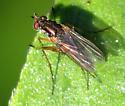 long-legged fly - Dolichopus - male