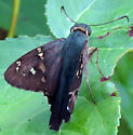 Long-tailed Skipper - Urbanus proteus