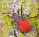 red-shouldered bug nymph - Jadera haematoloma