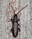 Skinny black beetle - Dendrophagus cygnaei