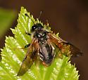 Sawfly - Trichiosoma triangulum