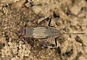 Which cricket please .. - Allonemobius fasciatus - female