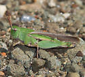 green grasshopper - Chortophaga viridifasciata - female