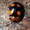 beetle - Mycetina perpulchra