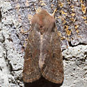 10495 Speckled Green Fruitworm Moth - Orthosia hibisci