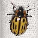 Cottonwood Leaf Beetle - Chrysomela scripta