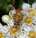 Fly - Leskia similis