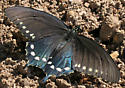 Pipevine Swallowtail - Battus philenor