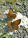 Butterlies on yarrow - Lycaena mariposa - male - female