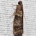 Pyralid Moth - Sciota uvinella