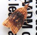 Moth sp. - Platynota flavedana