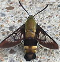 Mystery bug (maybe Diptera or Hymenoptera?) - Hemaris diffinis