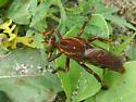 New York bee killer - Diogmites basalis