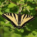 Papilionidae: Papilio rutulus - Papilio rutulus