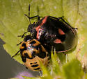 Beetle - Cosmopepla lintneriana