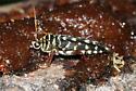Longhorn Beetle sp. - Placosternus