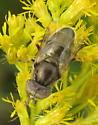 Gold fly - Eristalinus aeneus - male