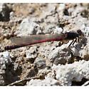 W. Red Damsel - Ampheagrion abbreviatum? - Amphiagrion abbreviatum - male