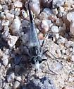 Robber Fly near Baker California - Efferia